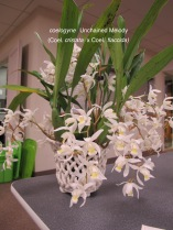 coelogyne Unchained Melody (Coel. cristata x Coel. flaccida)raised by Gloria Teague