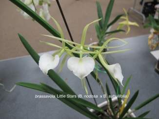 brassavola Little Stars (B. nodosa x B. subulifolia)raised by Ruth Schneider