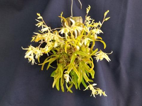 dendrobium [Den.] gregulus---Pam Larocco