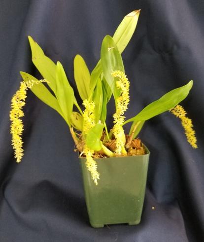 Dendrobium propinquum--Pam Larocco