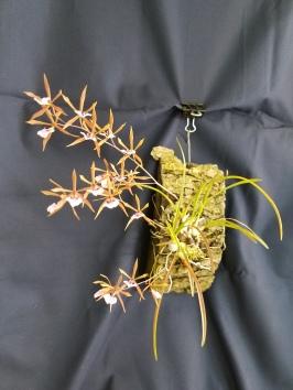 encyclia [E.] bractescens (syn. epidendrum bractescens)--Pam Larocco