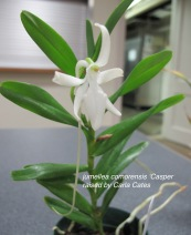 jumellea comorensis 'Casper'raised by Carla Cates