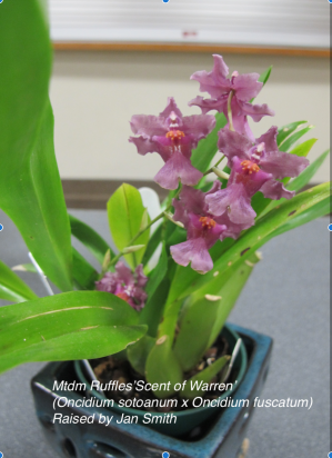 Mtdm Ruffles 'Scent of Warren' (Oncidium sotoanum x Oncidium fuscatum)raised by Jan Smith