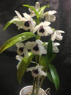 """Dendrobium yukidaruma 'King""""...Ruth Schneider"""