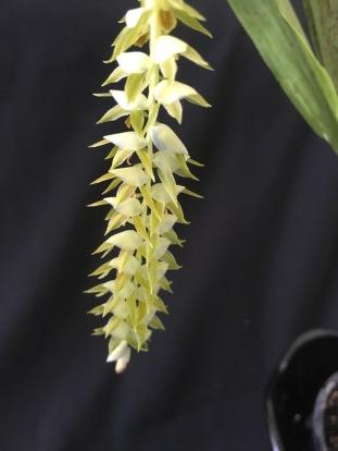 Dendrochilum magmum ...Jan Smith