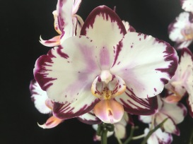Phal. Ever Spring Prince...Jan Smith