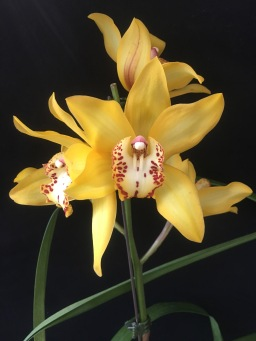Cymbidium Milton Carpenter 'Everglades Gold' FCC/AOS...Jan Smith