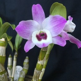 Dendrobium nobile….Jan Smith