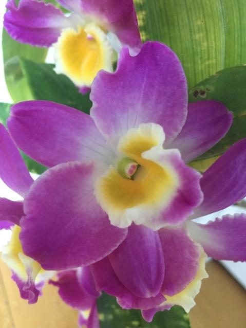 "Dendrobium Victory Moon ""Athena""...Jan Smith"