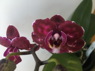 Doritaenopsis Yu Pin Burgundy....Jan Smith