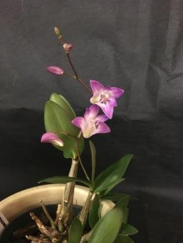 Dendrobium kingianum...Sal Locasio