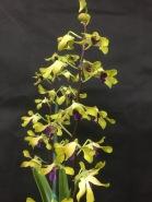 Dendrobium Pixie Princess x Livingtone 'Mishima'... Jan Smith