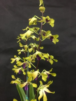 Dendrobium Pixie Princess x Livingtone 'Mishima'... Jan Smith