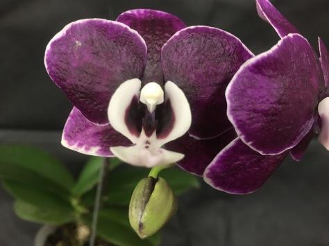 Phalaenopsis Smashing Hilo Lip...Gwen Hartmann
