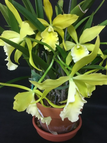 Blc. Everything Nice 'Showtime'...Linda Solley-Kanipe