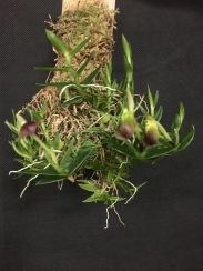 Epidendrum neoporpax...Rick Wilias
