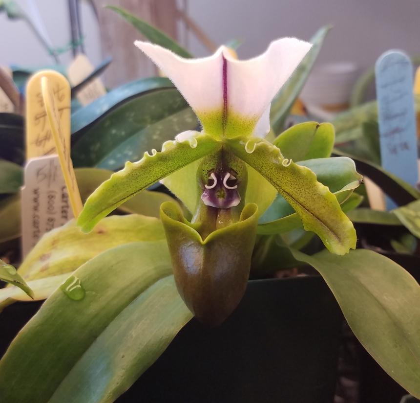 Paph. spicerianum (Pam Larocco)