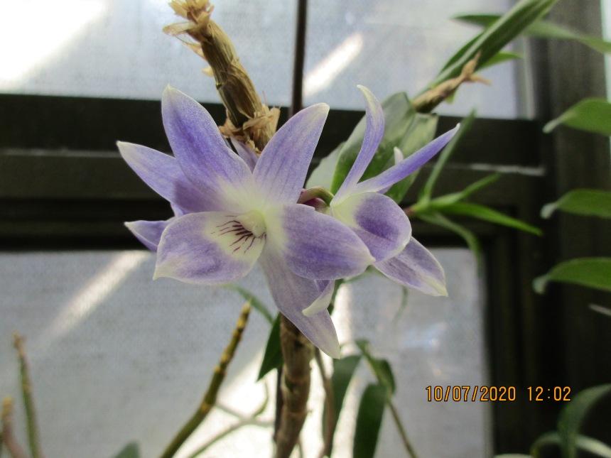Dendrobium victoriae reginae (Anne-Marie Blancquaert)