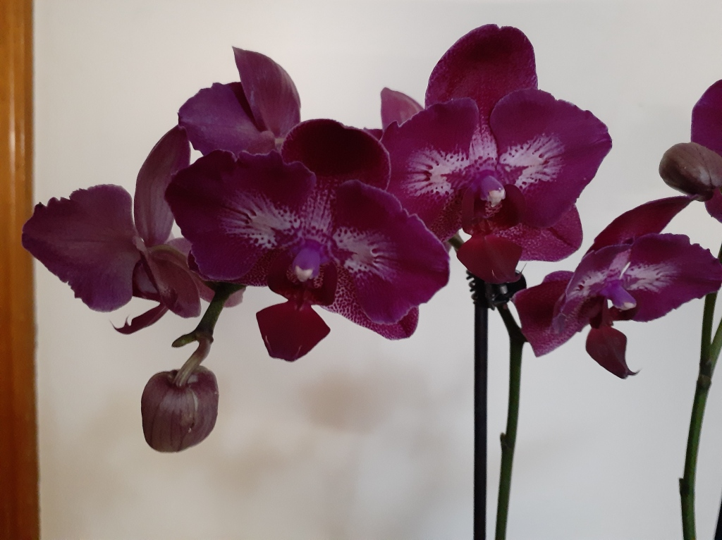 Phal. unknown (Janet Crafts) (4)