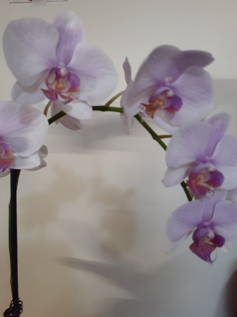 Phal. unknown (Janet Crafts)