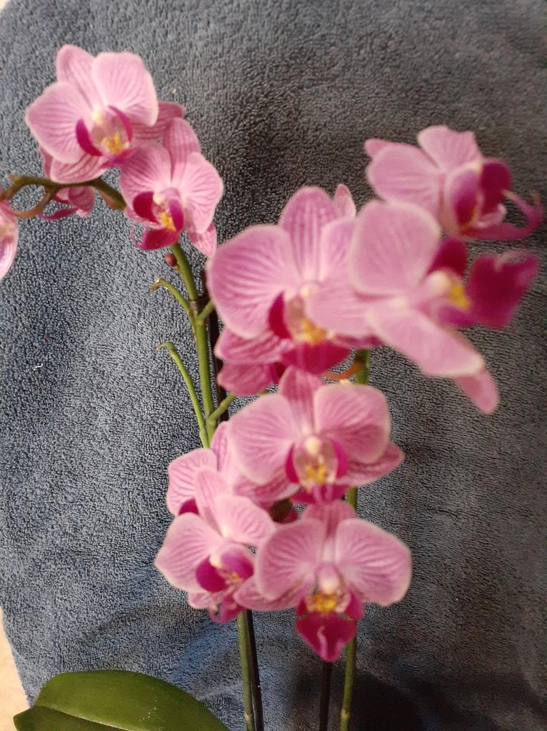Unk mini-Phal (Janet Crafts)