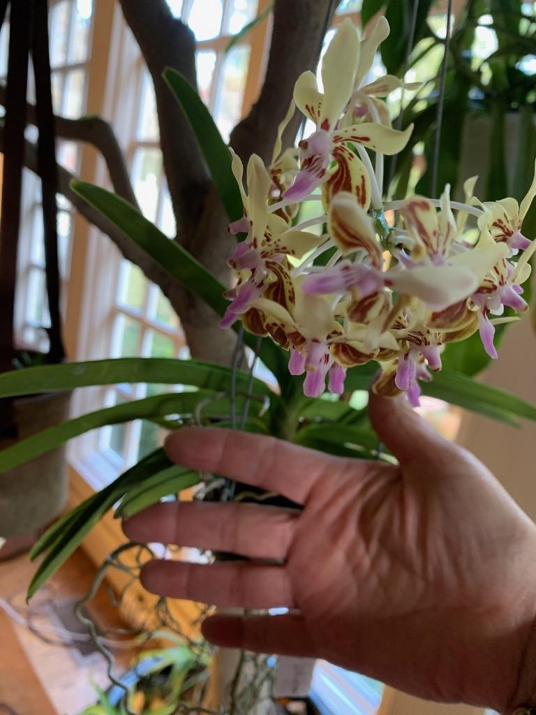Vanda lamellata 'Okinawa' (Carla Cates)