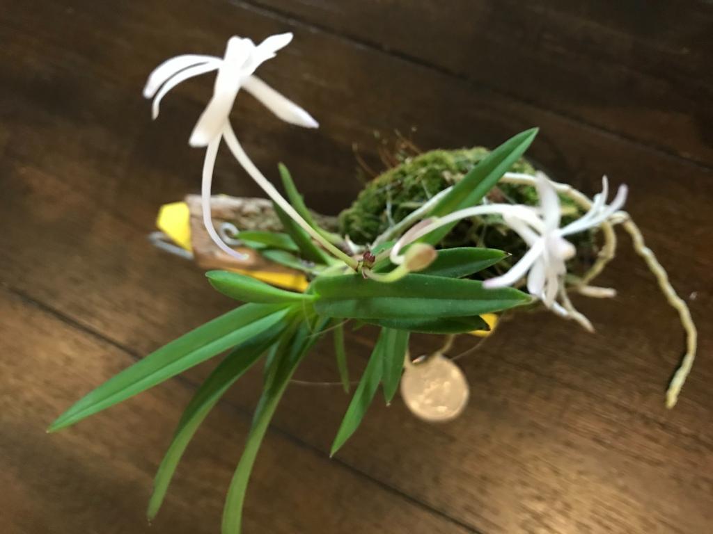 Neofinetia falcata (Pink shower x Lavender)(Debbie Hanna)