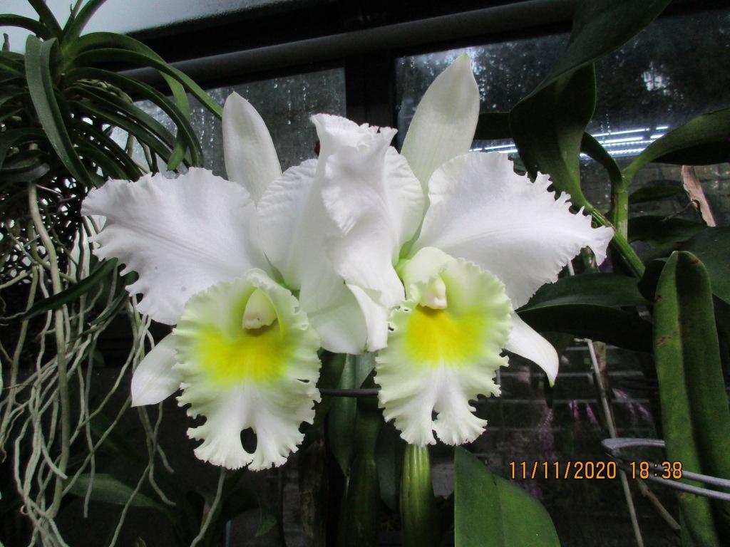 Cattleya Gertrude Rounds (Anne-Marie Blancquaert)