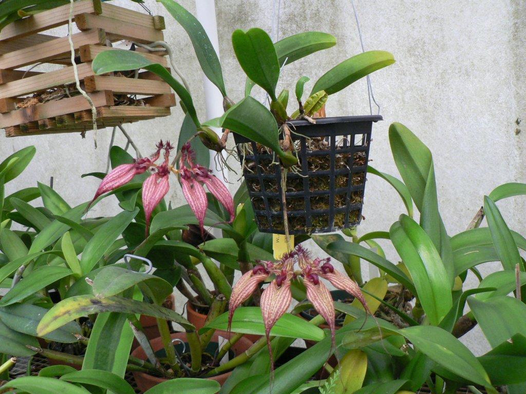 Bulbophylum rothschildianum 'A-doribil' FCC/AOS (Gloria Teague)